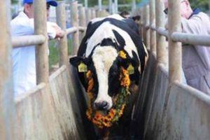 Tập đoàn TH đón 1.800 con bò sữa thuần chủng từ Mỹ