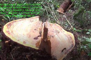 Phát hiện lâm tặc triệt phá 48 cây gỗ pơ mu