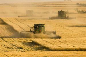 Chưa buộc tái xuất lúa mỳ nhập khẩu nhiễm cỏ kế đồng từ ngày 1/11
