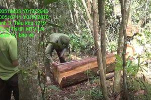 Đắk Lắk: Điều tra vụ 48 cây pơ mu bị lâm tặc đốn hạ