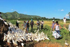 Đắk Lắk: Tiêu hủy hàng ngàn con vịt bị dịch cúm gia cầm AH5N6