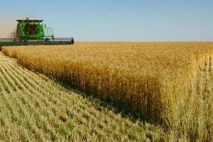Hoãn áp dụng tái xuất lúa mì lẫn cỏ nguy hại Cirsium Arvanse