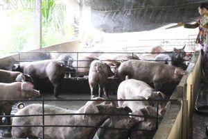 Thực hành trầy trật nhưng GAHP vẫn là 'áo phao' cho ngành chăn nuôi