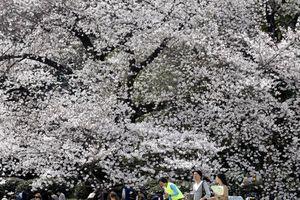 Nhật Bản: Điều gì khiến hoa anh đào đột ngột nở sớm quy mô lớn?