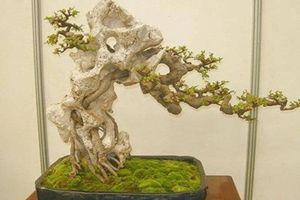 Mỏi mắt ngắm loạt bonsai bám đá đầy nghệ thuật