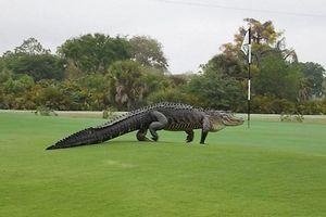 Clip: Kinh hoàng cá sấu dài gần 5m xuất hiện trên sân golf