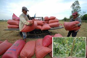 Nguy cơ mất thị trường xuất khẩu do cỏ kế đồng