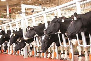 Nhập khẩu 1.800 con bò Mỹ, Tập đoàn TH 'nâng hạng' đàn bò Việt Nam