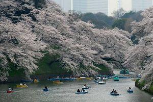 Nhật Bản: Hoa anh đào bất ngờ nở vào mùa Thu