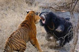 3 con nhỏ nấp sau lưng, mẹ gấu một mình đối phó hai hổ dữ