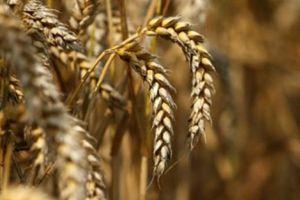 Lúa mì nhiễm cỏ kế đồng: Cân nhắc thiệt vài triệu hay vài tỷ USD?