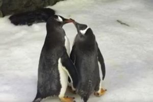 Cặp đôi cánh cụt đực đồng tính được tặng trứng để ấp, thỏa mãn mơ ước làm cha