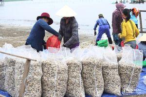 Ngư dân Nghệ An khai thác hàng nghìn tấn ngao giống xuất bán ra Bắc