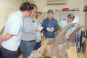 Buôn lậu 'khủng' ngà voi, sừng tê giác: Lọt lưới chủ hàng?