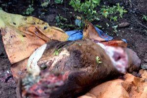 Bò bị cắt 4 chân: Nghi một nhóm trộm làm nhiều vụ