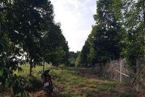 Vườn trồng 'cột chống trời' dổi đổi được nhiều vàng nhất xứ Mường