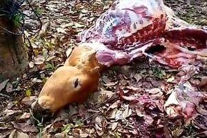 Quảng Trị: Điều tra vụ kẻ gian trộm bò, cắt lấy 4 chân mang đi