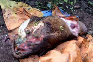 Trộm đột nhập giết bò lấy 4 đùi, để lại cho khổ chủ phần thân