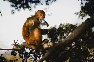 'Sự nổi dậy của bầy khỉ' khiến người đàn ông xấu số qua đời