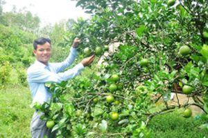 Thận trọng khi mở rộng diện tích cây ăn quả có múi