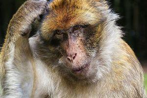 Đi nhặt củi, cụ ông 72 tuổi bị khỉ ném gạch đến tử vong