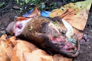 Nhiều vụ trộm đột nhập giết mổ trâu bò man rợ ở Quảng Trị