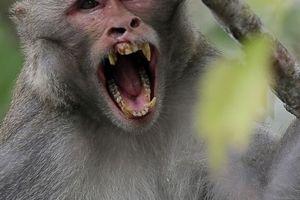 Ấn Độ: Người đàn ông tử vong do bị đàn khỉ tấn công bằng gạch
