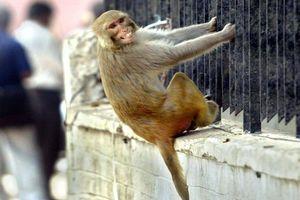 Gia đình đòi kiện con khỉ ném đá tới tấp khiến người đàn ông chết tức tưởi