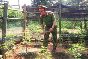 Đối tượng nghiện ma túy trồng cần sa trong vườn nhà