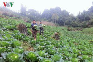 Bắp cải trái vụ - hướng thoát nghèo hiệu quả ở vùng cao Si Ma Cai
