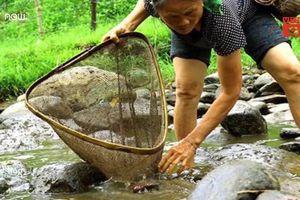 Dân Quảng Ngãi nô nức lội ruộng săn nòng nọc làm món ăn đặc sản