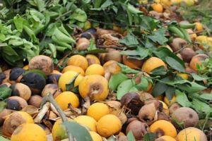 Xót xa, nhói lòng: Cam rụng vàng gốc ở 'thủ phủ cam' xứ Nghệ
