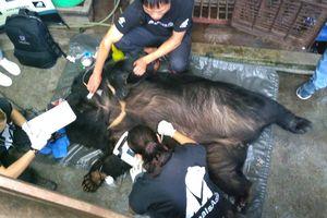 Tổ chức Động vật châu Á cứu hộ thành công cá thể gấu thứ 200