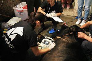 Cứu hộ con gấu thứ 200 tại Việt Nam