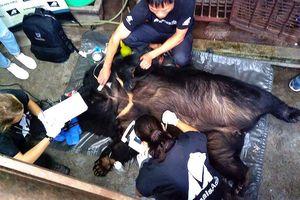 Cứu hộ cá thể gấu thứ 200 tại Cao Bằng