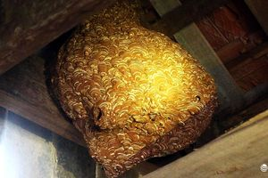 Choáng với tổ ong 'sát thủ' khổng lồ dài hơn 1m trong nhà người dân Nghệ An