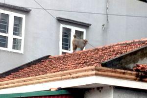 Xuất hiện 3 con khỉ ở núi đá phường Hồng Hà (TP Hạ Long)