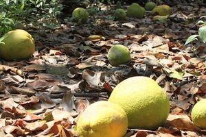 Hàng chục héc ta bưởi của nông dân Mỹ Hòa bị rụng trái do triều cường