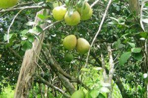 'Lên đời' cho trái cây Đại Bình - nơi có nhiều người sống thọ nhất
