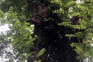 Chiêm ngưỡng cây sưa được ví như vàng ròng ở Thủ đô Hà Nội