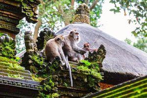Đàn khỉ ném đá cụ ông đến chết bị đòi kiện và kết