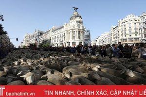 'Choáng' với cuộc diễu hành của hàng trăm con cừu