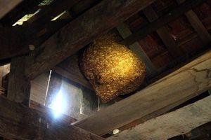 Cận cảnh tổ ong vò vẽ 'khổng lồ' ước tính hàng chục kg ở trong nhà dân