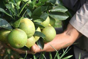 Lên núi trồng cam thu tiền tỷ