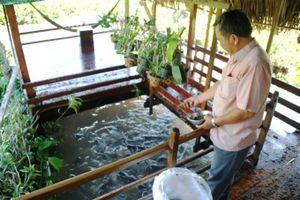 Lão nông bỏ hàng trăm triệu 'dụ' đàn cá tự nhiên về nuôi như... thú cưng