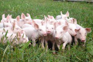 Chăn nuôi Phú Sơn (PSL) điều chỉnh kế hoạch kinh doanh từ lỗ thành lãi và tạm ứng cổ tức 50%