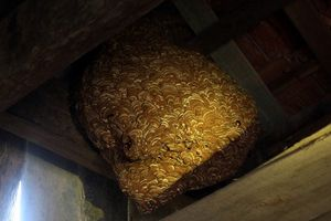 Cả gia đình sống chung với đàn ong 'sát thủ' dài cả mét trong nhà