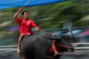 Đua trâu ở tỉnh Chonburi: 'Quá nhanh, quá nguy hiểm' kiểu Thái
