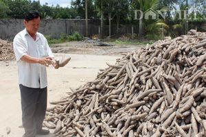 Giá mì tăng cao, nông dân 'liều mình' với dịch khảm lá
