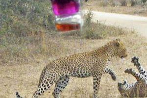 Trận tử chiến kinh hoàng, báo đốm châu Phi lao vào cắn xé đồng loại